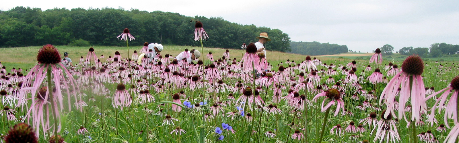 Cone flowers in the prairie at Holy Wisdom Monastery.