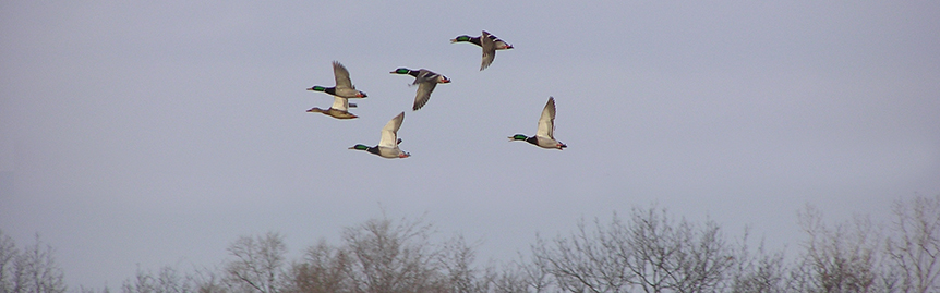 Mallards-taking-off-from-Lost-Lake
