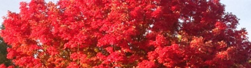 Maple leaves blazing red in fall