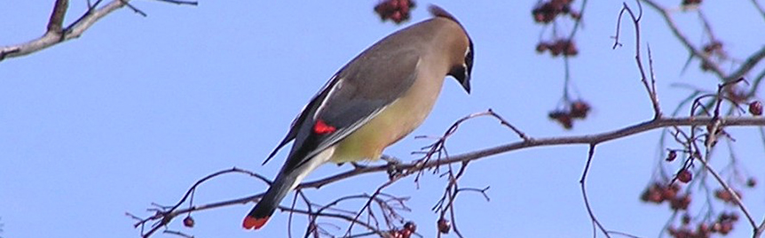 Cedar waxwing feeding on crabapple