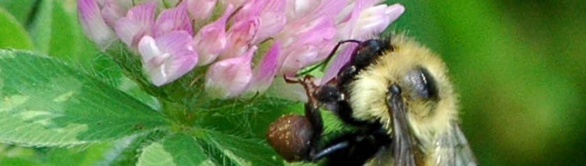 Bee resting on a pink clover head
