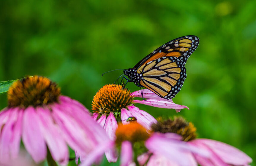 Monarch on a pink and brown flower