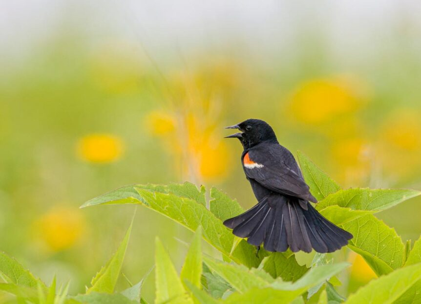 The bird is entirely black aside from an orange and cream colored patch on its shoulder.